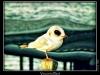 lunatmg_vincentsbird