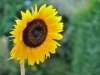 6- gerrymechansunflowersmall-jpg