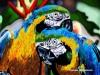 Macaw fallen lovesmall.jpg