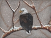 Marcy Deutsch Bald Eagle in Snow