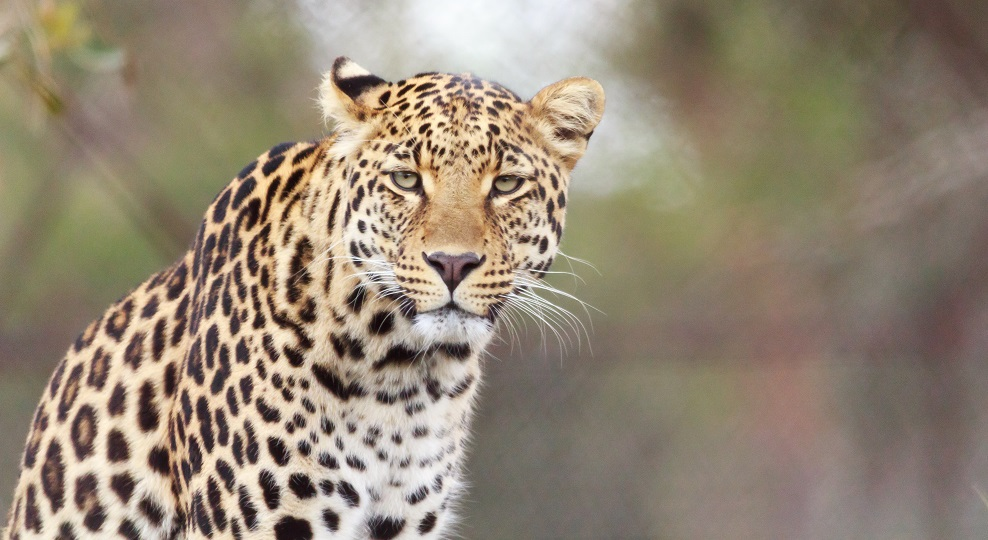 leopard, Moholoholo Wildlife Rehabilitation Centre, South Africa